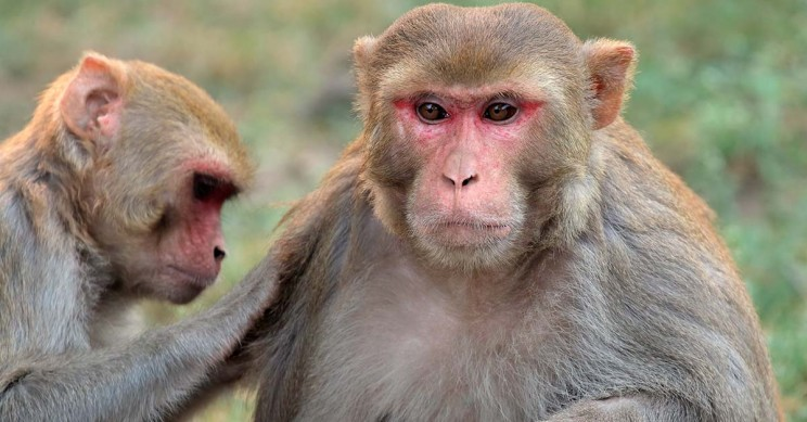 Rhesus Macaques Socializing