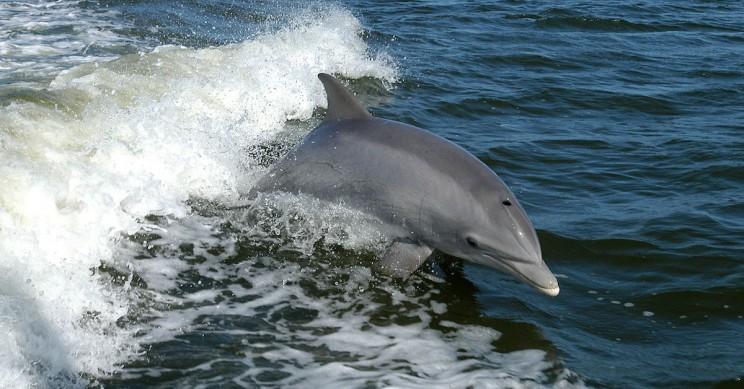 Dolphin Clitoris Looks a Lot Like a Human's