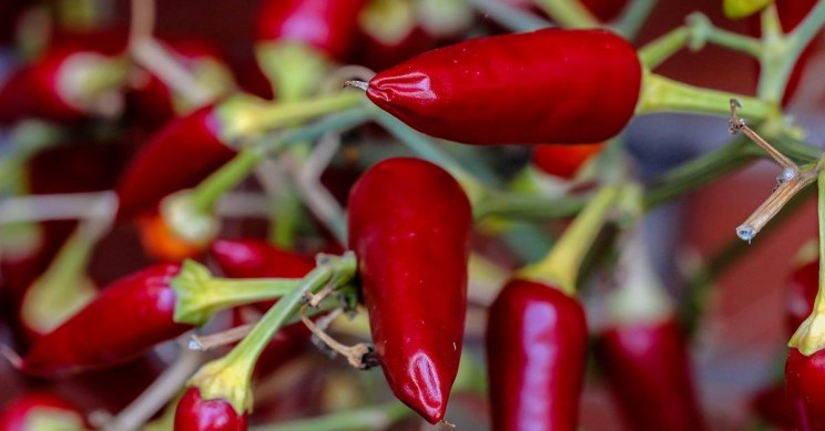 Chili Peppers May Help Fight Lung Cancer