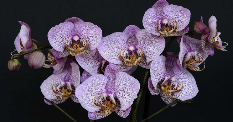 Molecular Mechanism of Orchids Revealed by Japanese Scientists