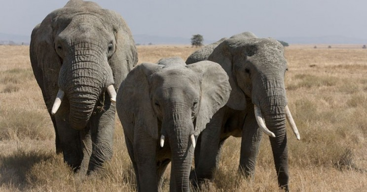 Elephants' Zombie Genes Could Help Save Them From Cancer