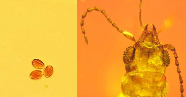99-Million-Year-Old Beetle Found Preserved in Amber Holds Secrets of Evergreen Cycads