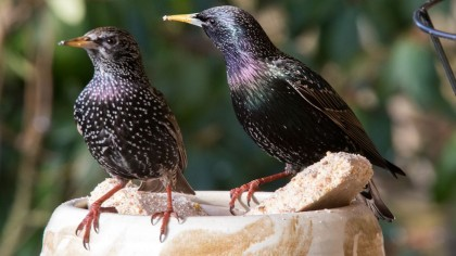 Female Birds Given Antidepressants See Males Sing Less And Peck More at Them
