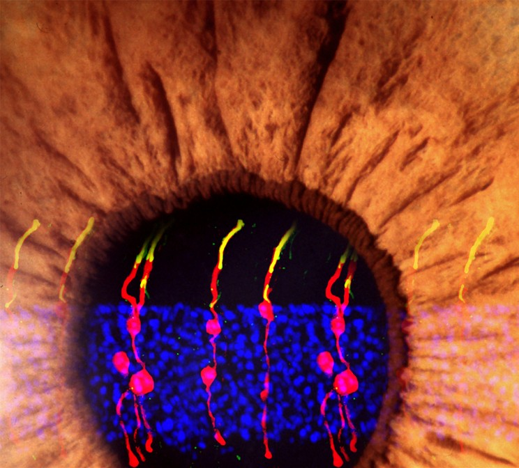 Scientists Restore Vision in Blind Mice Using Retinal Stem Cell Technique