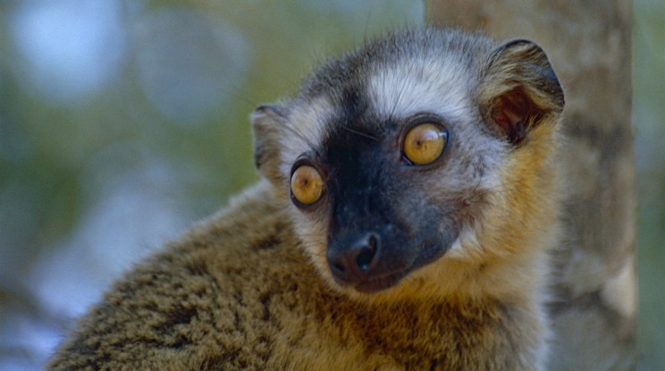 Red-Fronted Lemurs Use Crushed Millipedes to Soothe Threadworm Affected Anuses