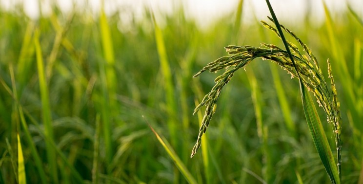 HIV Infections Could Be Prevented With the Use of Genetically Modified Rice