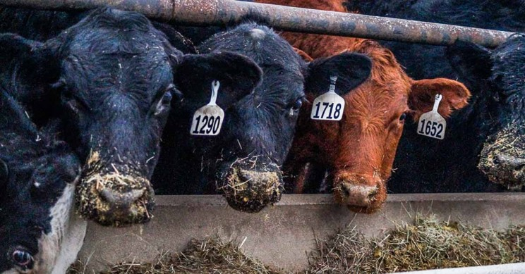 Cow Feed