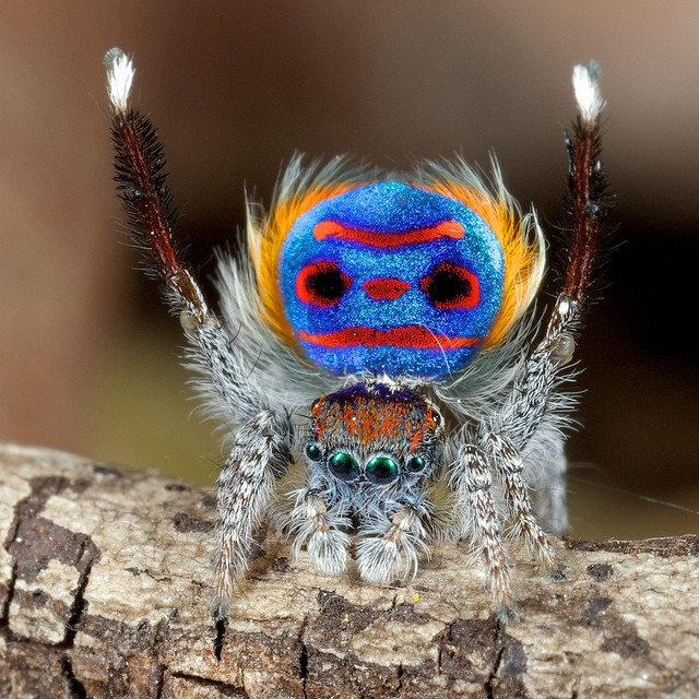Peacock Spiders' Rainbow Iridescence Could Help Develop New Optical Technologies