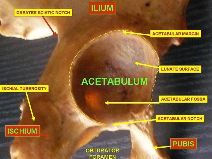 The Origins of Science Words  acetabulum