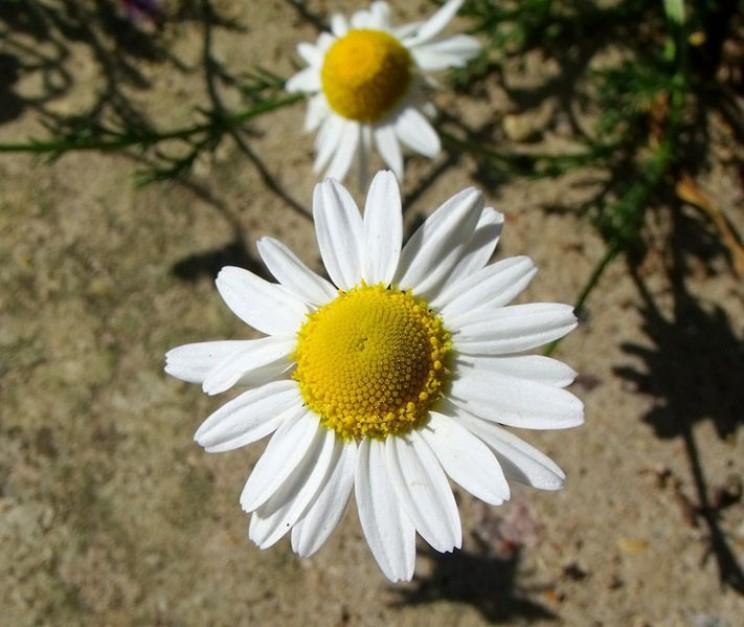 home remedies Chamomile