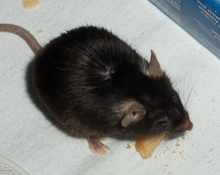Drug testing on Mice