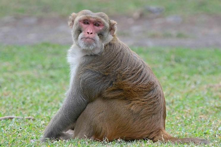Monkey Drug Trials Psychological Experiment