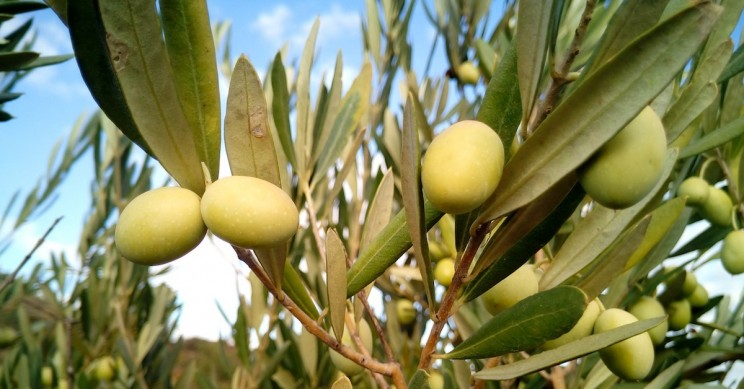 Scientists Make Tool to Crack Down on Fraudulent Olive Labelling