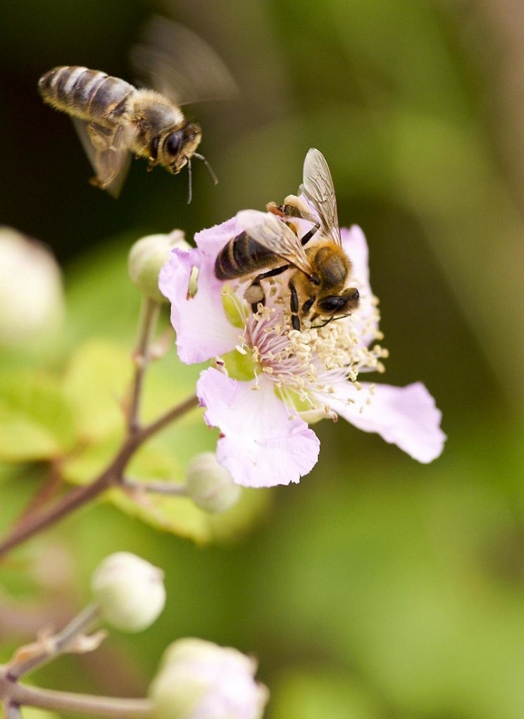 GMO myths bees