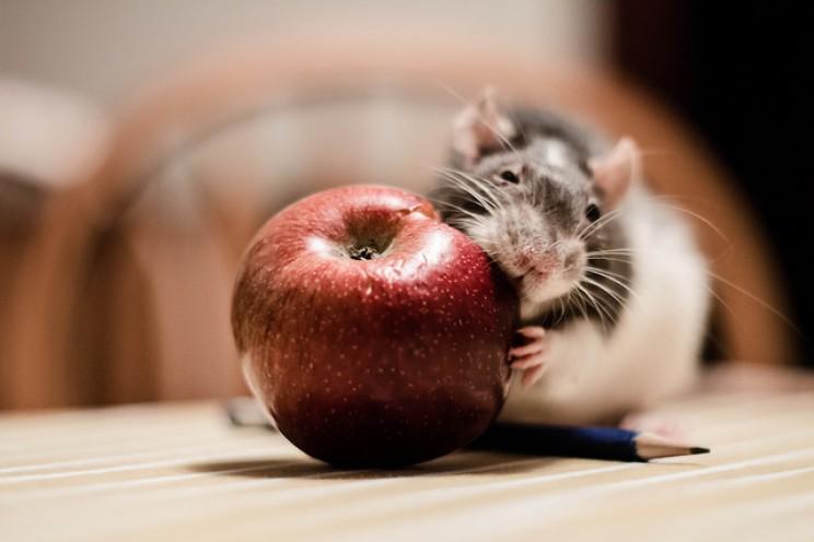 GMO myths rats