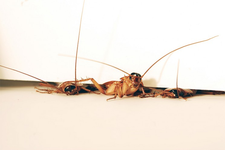 Scientists Look to Cockroaches to Build Better Crawling and Climbing Robots