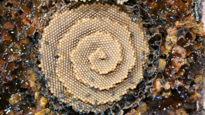 Australian Stingless Bees Build Stunning Spiral Hives and No One's Quite Sure Why