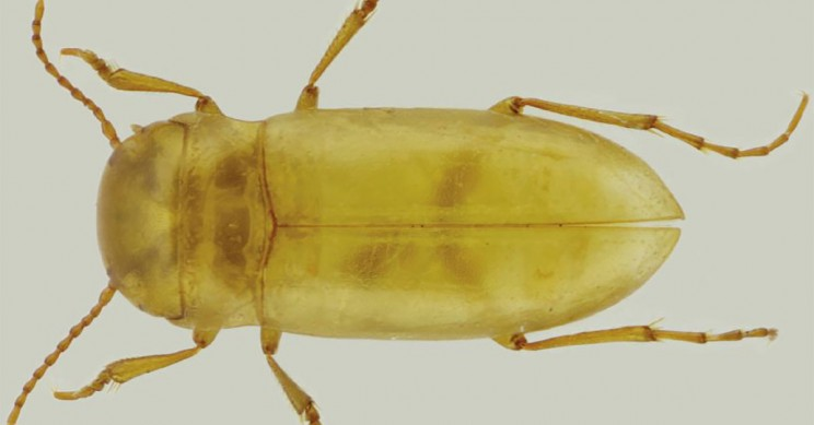 A New Species of Beetle Was Discovered in a Cave in Portugal