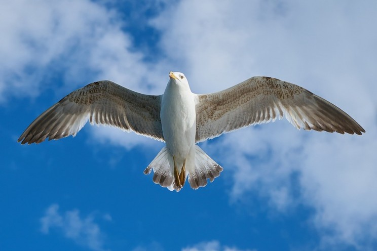 Biomimicry: Gull Birds Could Help Inspire Better Airplane Design