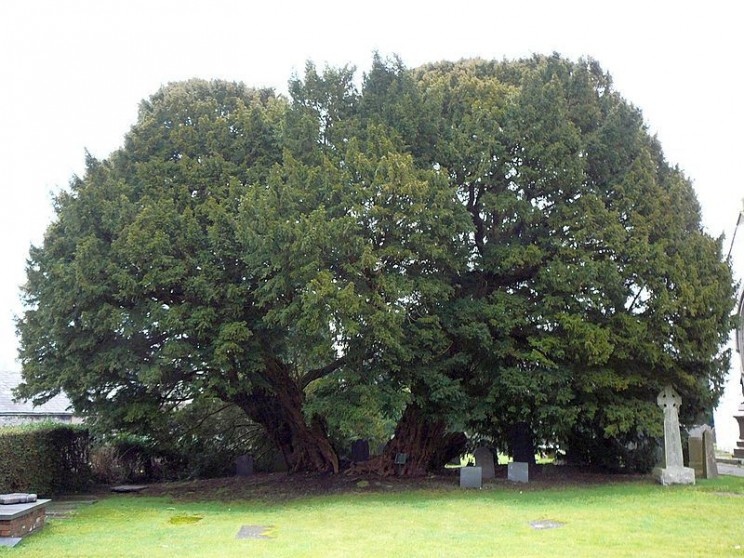 The Oldest Trees Llangernyw Yew