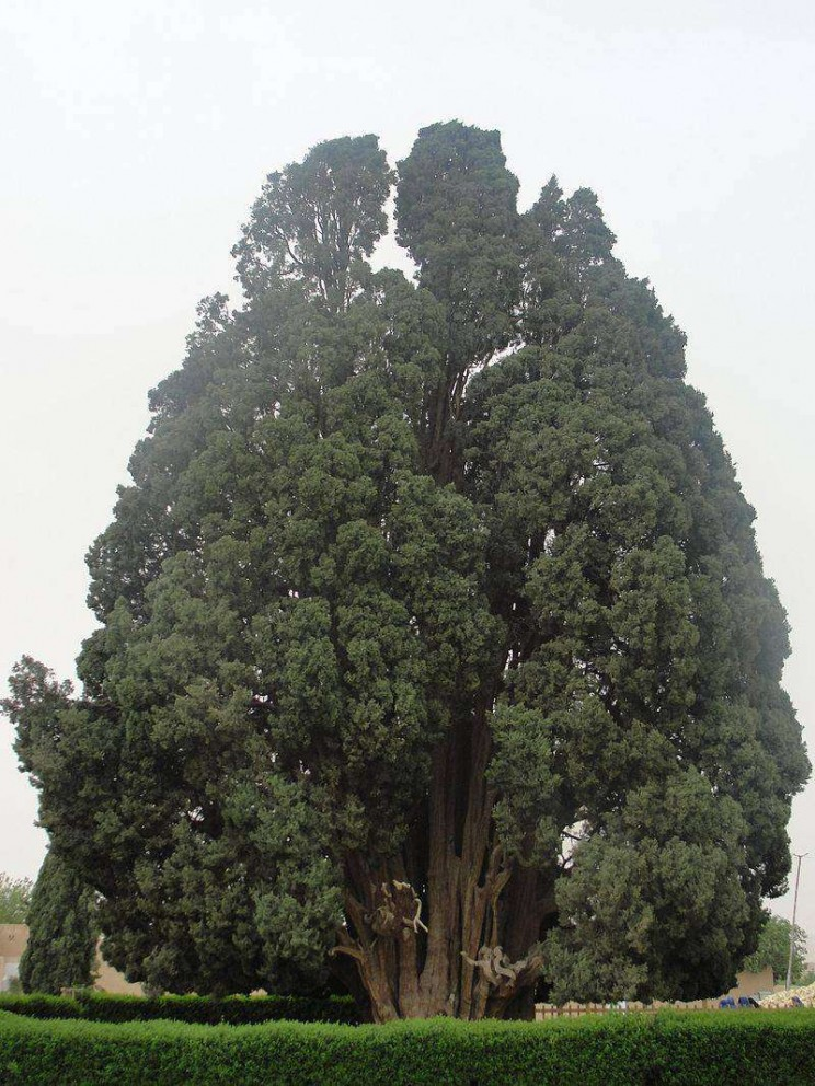 The Oldest Trees Sarv-e Abarkuh