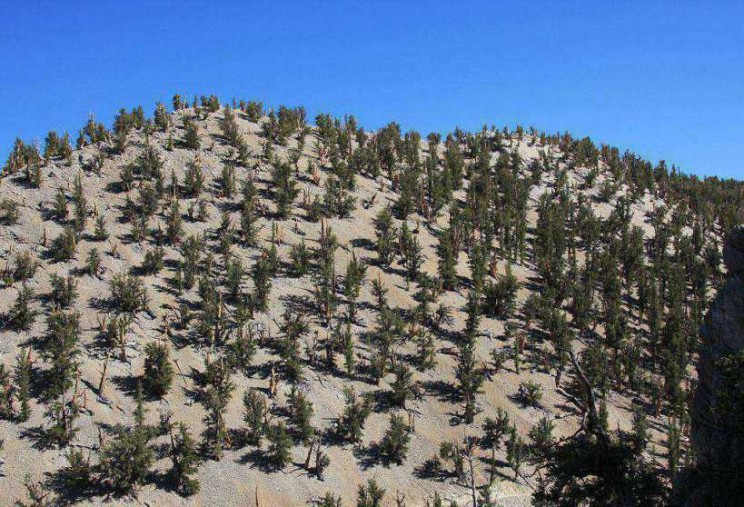 The Oldest Trees great basin