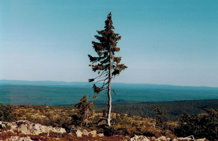 The Oldest Trees Spruce