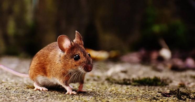 World's First Mammal CRISPR/Cas-9 Genetic Inheritance Control Achieved