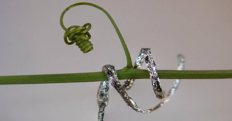 Inspired by Plants, Engineers Produce the First Ever Tendril-Like Robot Able to Climb