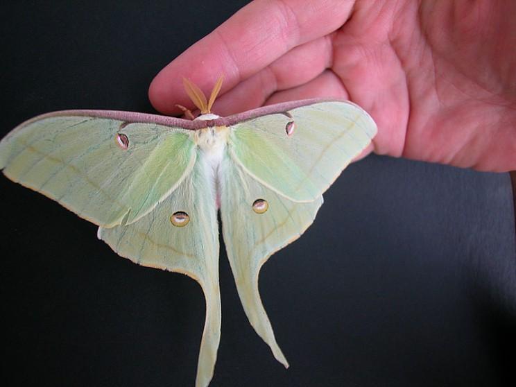 Moths Got Their Flashy Tails to Deflect Bats