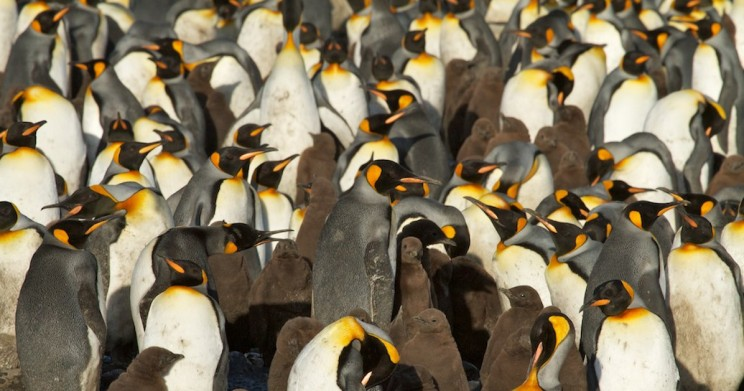 Largest King Penguin Colony Sees Mysterious Massive Decline of 88%