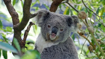 Koala Genome Could Hold the Secret to How to Save the Species from Extinction