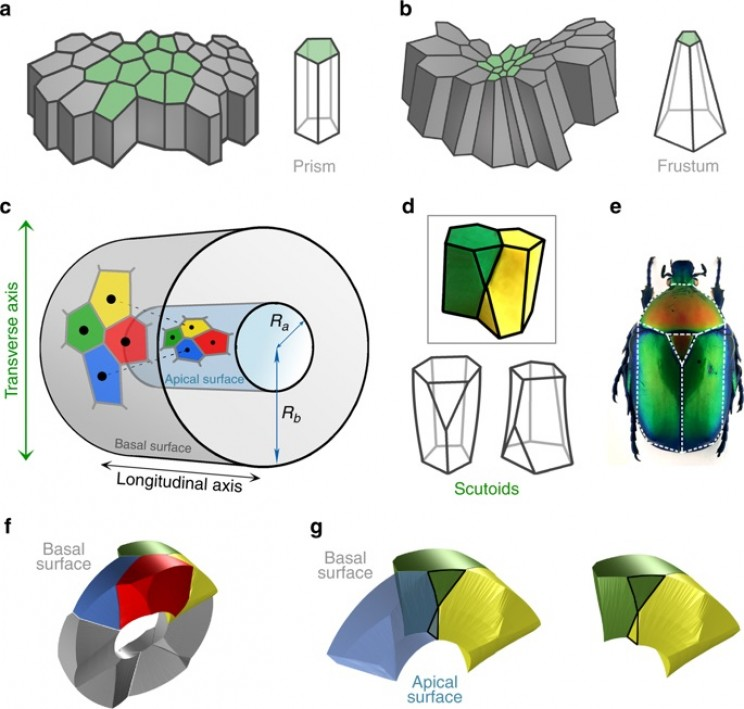 New Geometric Shape Discovered as Efficient Cell Storage in Nature
