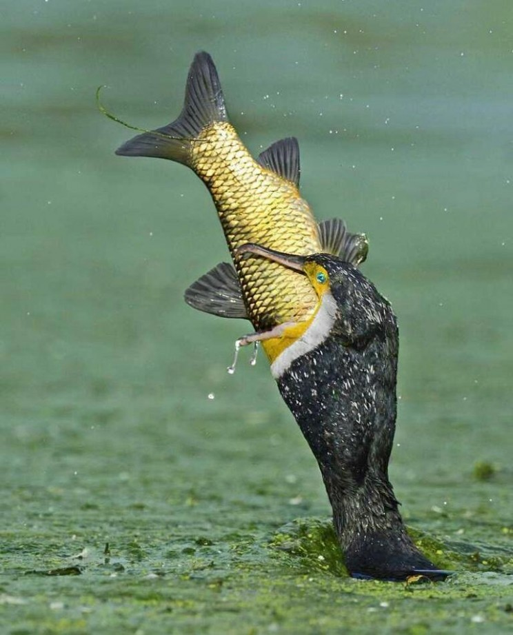 Perfectly timed photo of bird eating fish