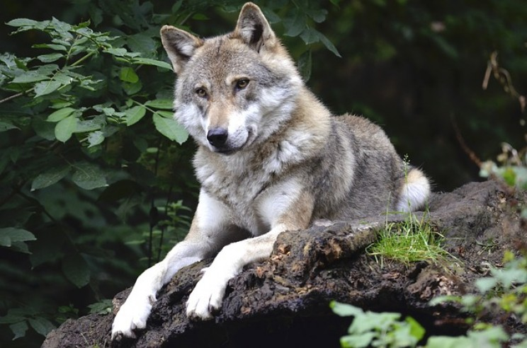 Scientists Track Lone Wolf Leaving Chernobyl's Radioactive Exclusion Zone