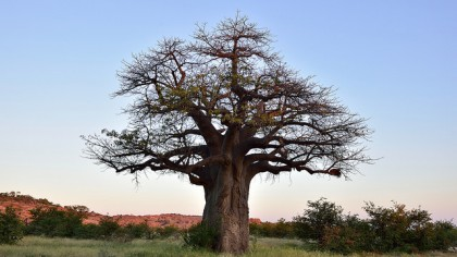 Death of Ancient Baobab Trees Suspected to be Caused by Climate Change