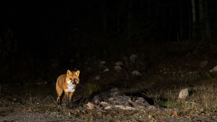 Humans Are Pushing Animals to Become More Nocturnal Than Ever Before