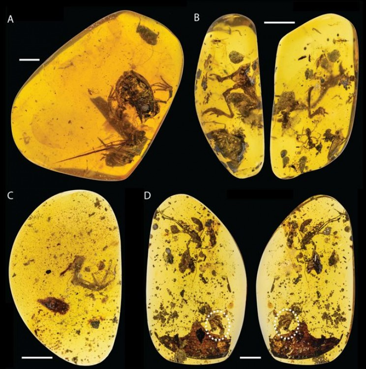 World's Oldest-known Frogs Preserved in Amber Discovered in Northern Myanmar