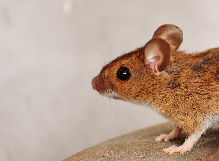 Dementia Symptoms Have Been Reversed in Mice
