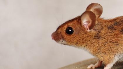 Dementia Symptoms Have Been Reversed in Mice