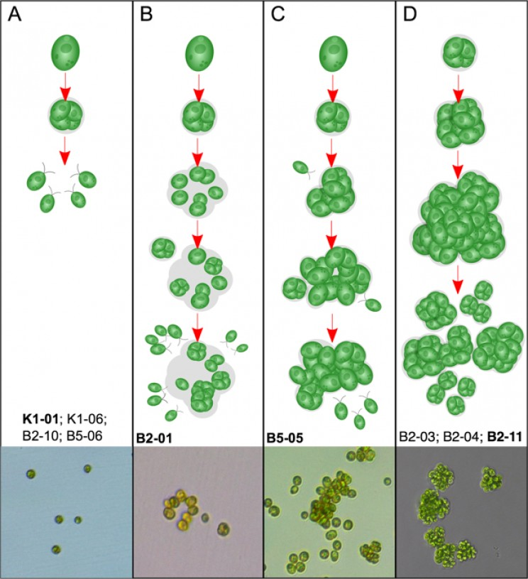 Incredible Research Replicates Transition from Unicellular to Multicellular Life