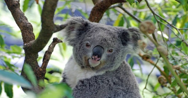 Drone Technology Used for Noninvasive Monitoring of Koala Populations