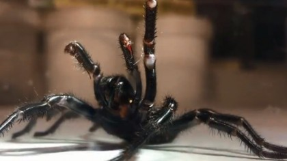 What Everyone Must Know About the World's Most Toxic Spider that was Recently Caught in Australia