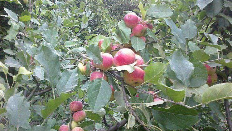 health myths debunked apples