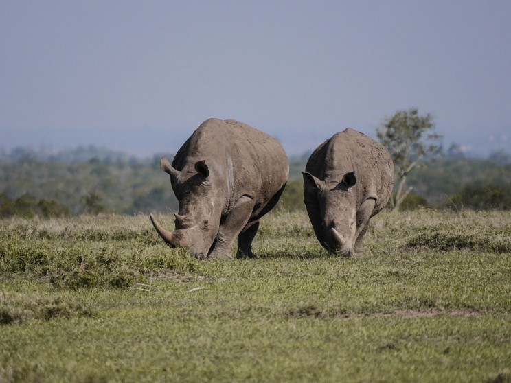 How One Tech Startup is Using 3D Printed Rhino Horns to Stop Poachers