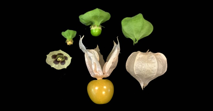 CRISPR May Help Make the Groundcherry Fruit as Common as Strawberries