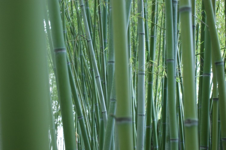 Bamboo is commonly used in medicine in China