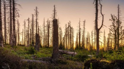 Earth's Heaviest and Oldest Organism is Being Decimated by Humans