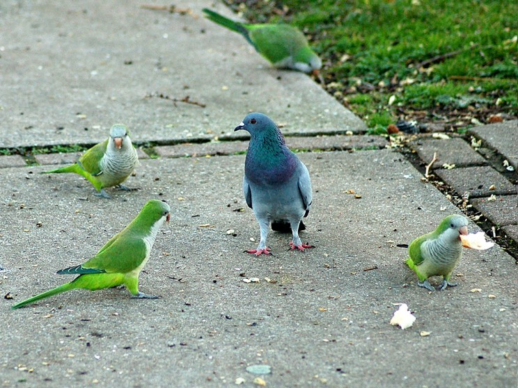 How Do Exotic Parrots Thrive In Urban Living?