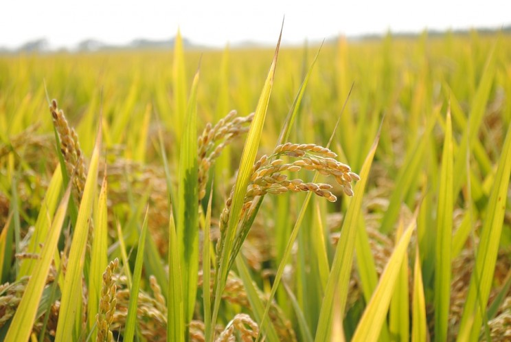 China Cultivates Salt Water Rice With a Yield That Could Feed Over 200 Million People
